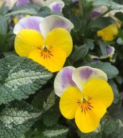 Superior Plants, Devizes - pansies